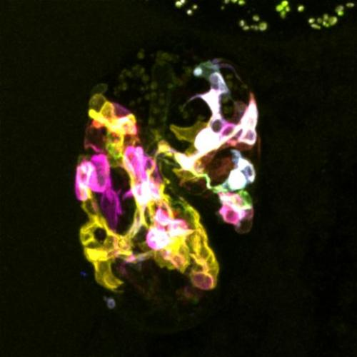 visualization of neurons in embryos with multicolor membrane-bound reporters