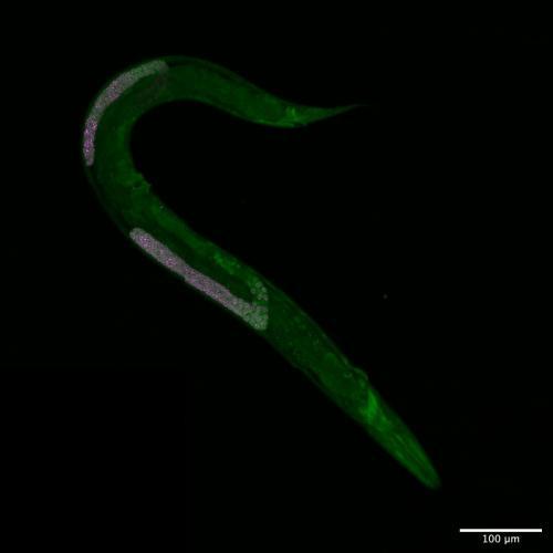 fust-1 (green); pgl-1 (magenta)